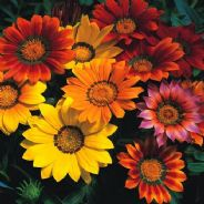 Gazania Splendens mix - 10 seeds